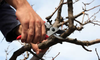 Tree Pruning in Chicago IL Tree Pruning Services in Chicago IL Quality Tree Pruning in Chicago IL